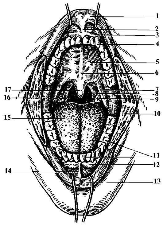 рот и зубы картинка названия яизиологии исчезновением
