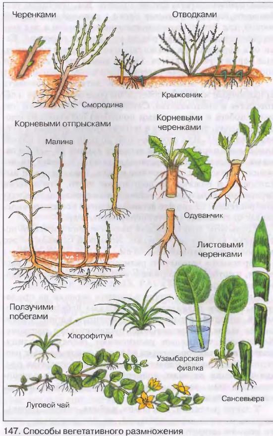 Картинка черенкование растений