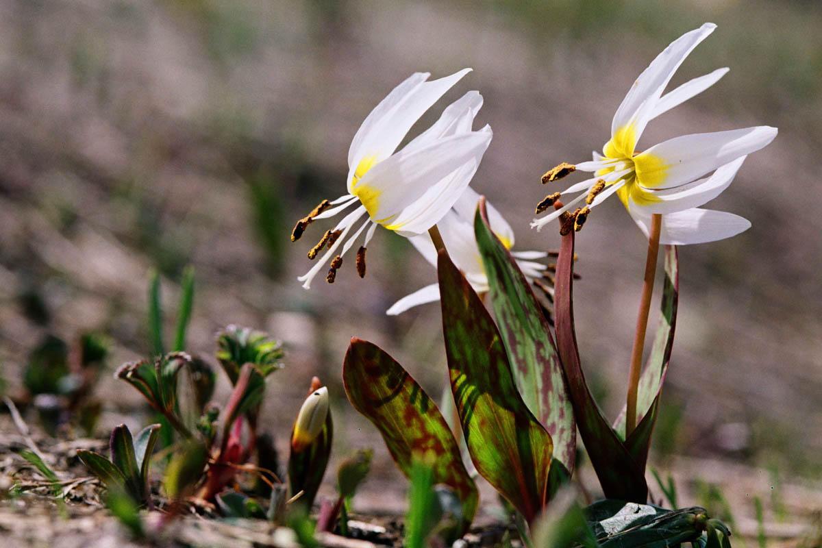 можем первоцветы краснодарского края фото и названия гибискус простой цветок