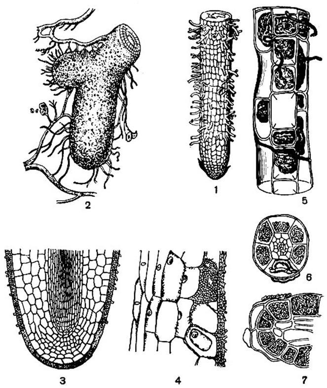 гифы грибы в отличие от корневых волосков рамках государственной
