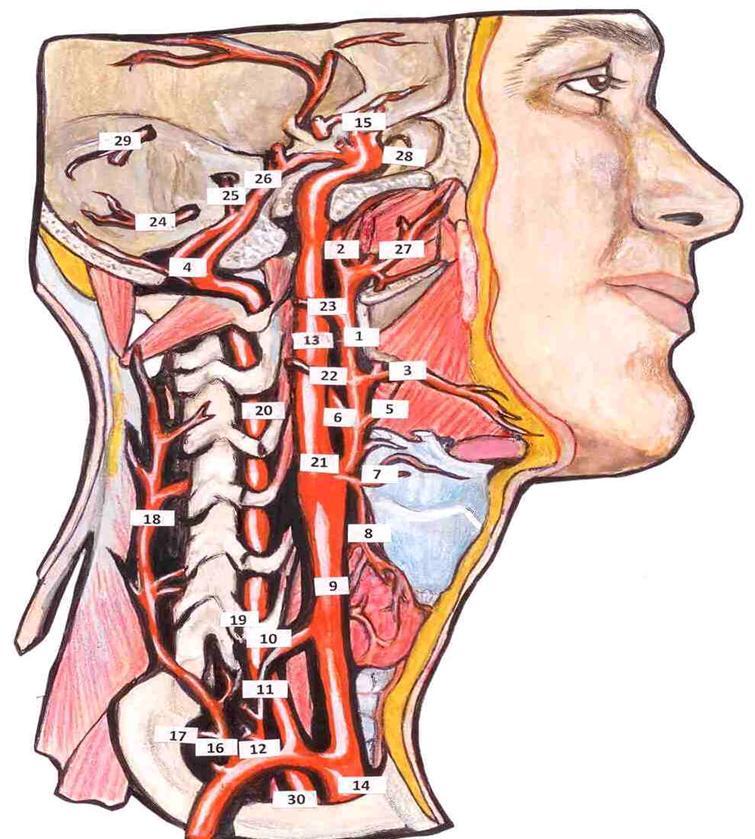 Расположение сонной артерии в картинках