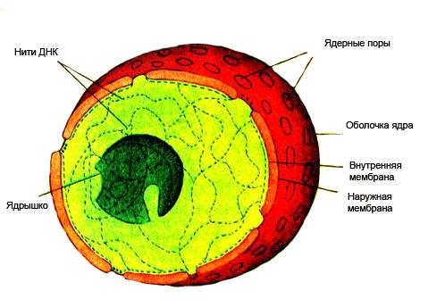 Рис. 7 Схема строения ядра