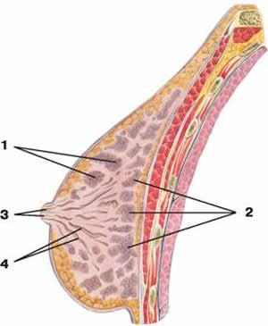 Молочная железа — Википедия